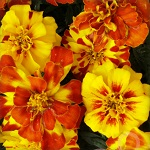 Бархатцы эфирное масло (Oil of Tagetes)